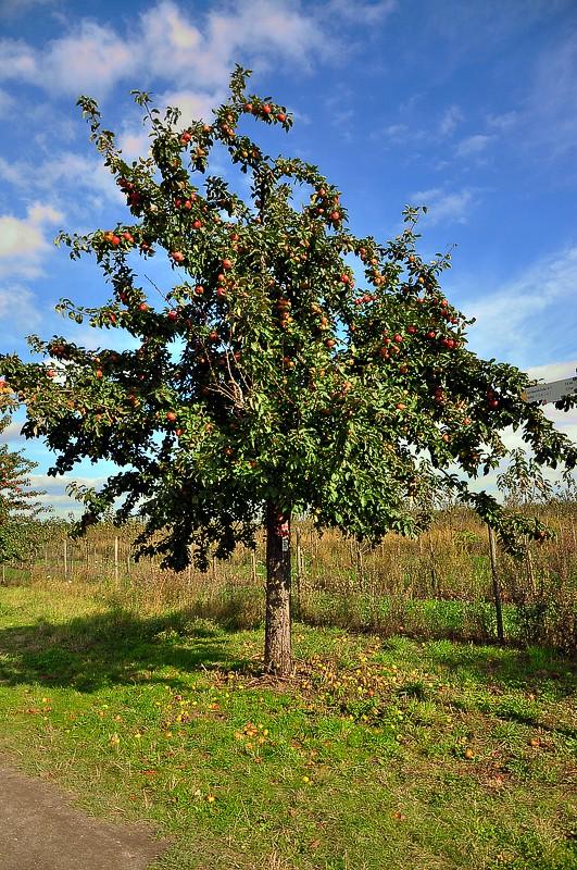 """""""Für eine Handvoll Äpfel"""" - oder: der """"Themenweg Streuobstwiesenweg"""" bei Mülheim-Kärlich (Oktober 2012)"""
