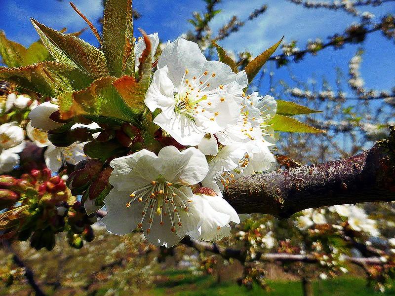 """Frühlingserwachen! - oder: der """"Themenweg Streuobstwiesenweg"""" April 2013)"""