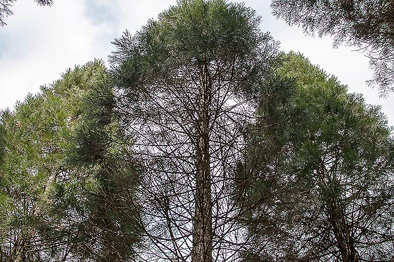 """Auf der Suche nach den Mammutbäumen - oder: der """"Butterpfad"""" im Rengsdorfer Land"""