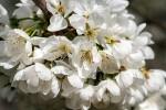 Ode an die Blütenpracht - oder: der Streuobstwiesenweg bei Mülheim-Kärlich